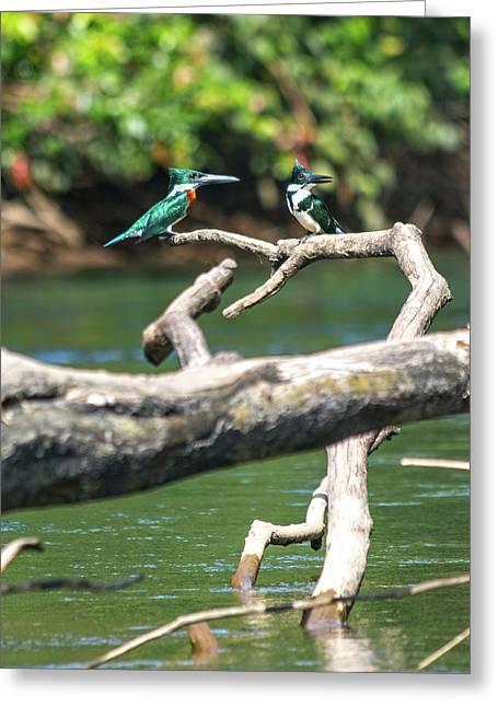 Kingfisher Pair Costa Rica Jungle Greeting Card