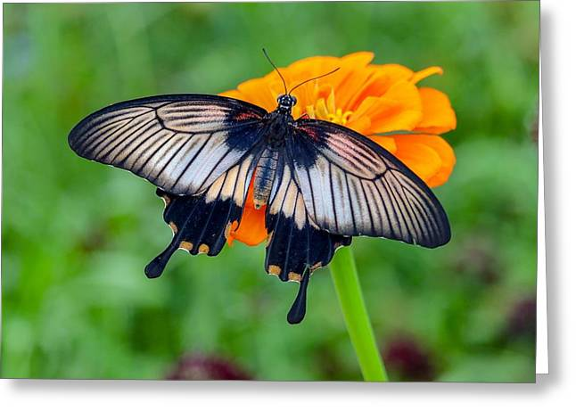 Kite Swallowtail  Greeting Card