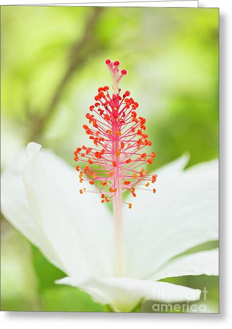 Greeting Card featuring the photograph Kokio Keokeo Hibiscus - Native Hawaiian Flower by Charmian Vistaunet