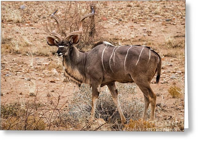 Kudu In The Kalahari Desert, Namibia Greeting Card