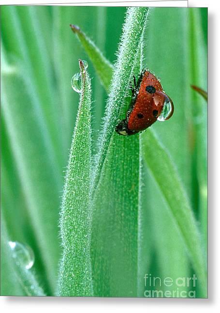 Ladybug With Large Dew Droplet On Back Greeting Card