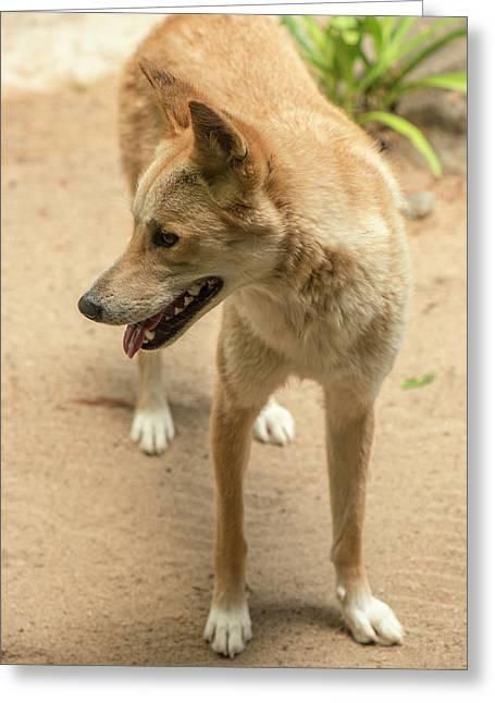 Large Australian Dingo Outside Greeting Card