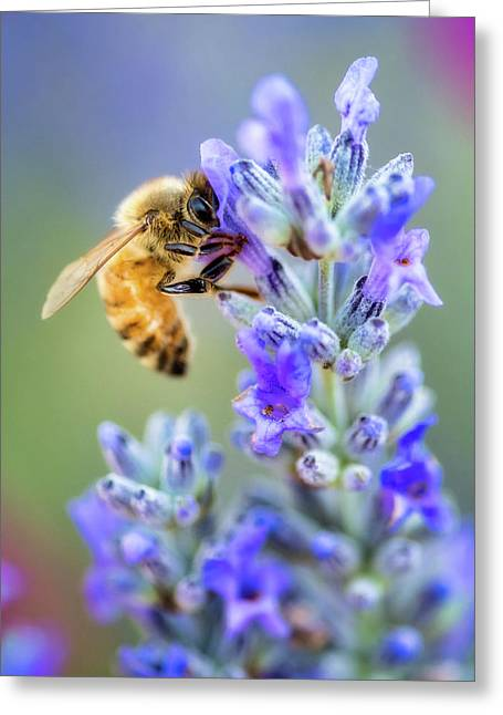 Greeting Card featuring the photograph Lavender Bee by Nicole Young