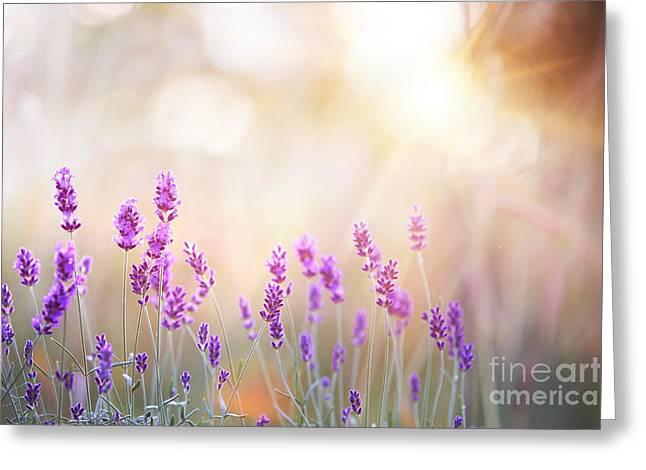 Lavender Bushes Closeup On Sunset Greeting Card