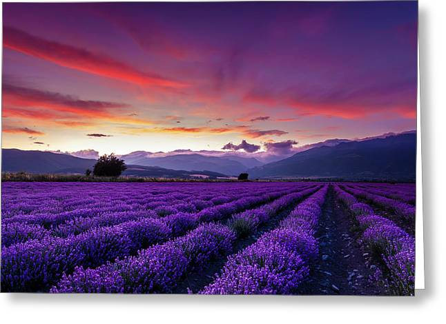 Lavender Season Greeting Card