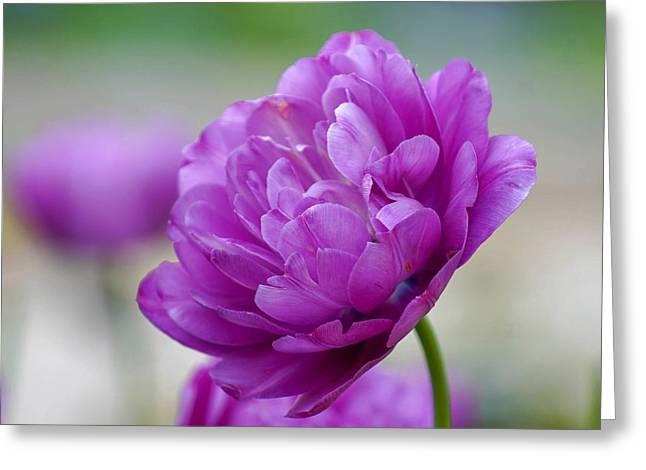 Lavender Tulip Greeting Card