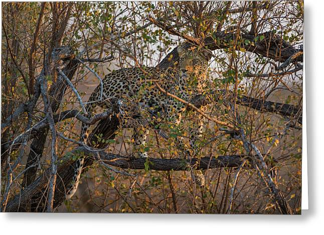 Greeting Card featuring the photograph LC6 by Joshua Able's Wildlife