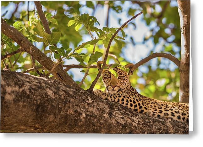 Greeting Card featuring the photograph LC9 by Joshua Able's Wildlife