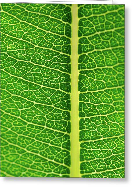 Greeting Card featuring the photograph Leaf Veins by Jeff Phillippi