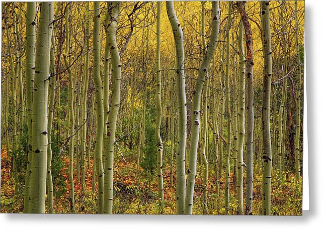 Lemhi Aspens Greeting Card by Leland D Howard