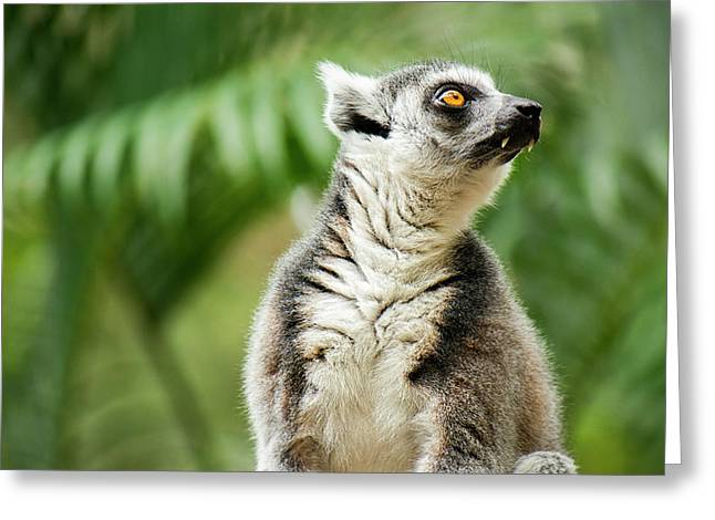Greeting Card featuring the photograph Lemur By Itself Amongst Nature. by Rob D Imagery