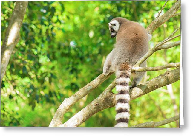 Lemur By Itself In A Tree During The Day. Greeting Card