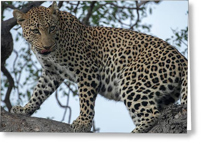 Leopard Anticipation Greeting Card