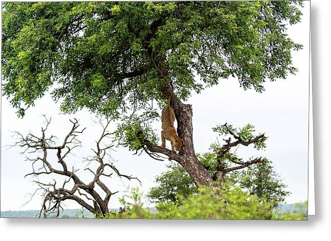 Leopard Descending A Tree Greeting Card