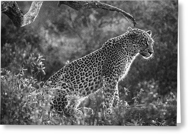 Leopard Sitting Black And White Greeting Card