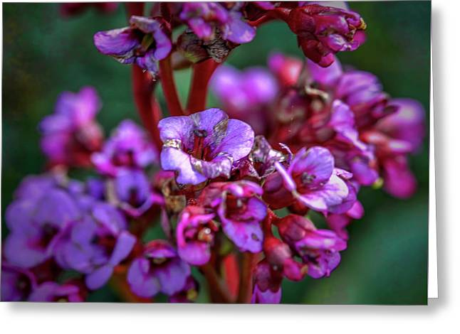 Lilac #h9 Greeting Card