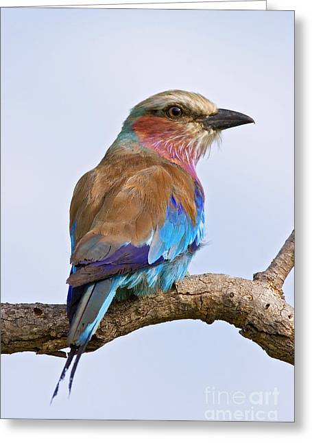 Lilacbreasted Roller Coracias Caudata Greeting Card