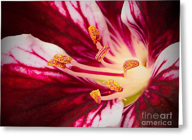 Lily Flower Stamen Close Up Greeting Card