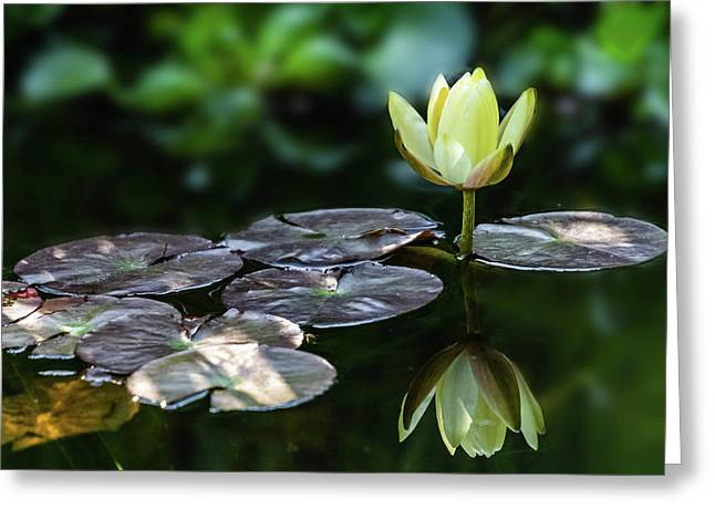 Lily In The Pond Greeting Card