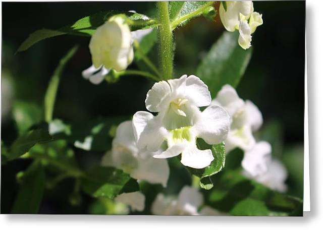 Lily Of The Valley, Cape May Greeting Card