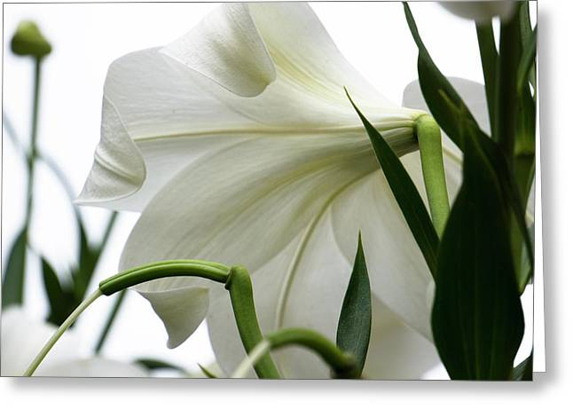 Lily_644_18 Greeting Card