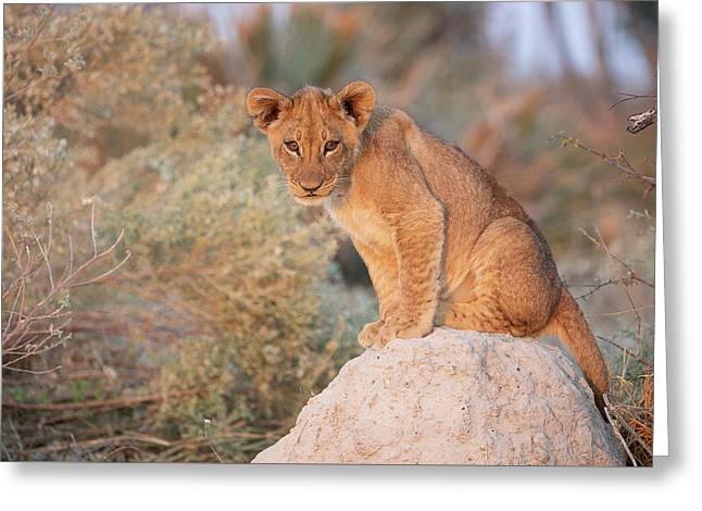 Greeting Card featuring the photograph Lion Cub On Termite Hill by John Rodrigues