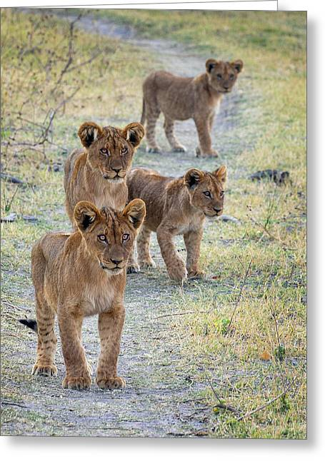 Greeting Card featuring the photograph Lion Cubs On The Trail by John Rodrigues