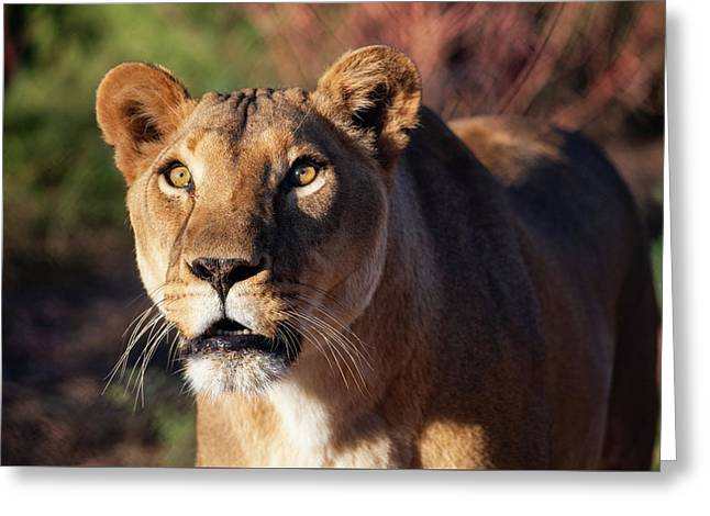 Lioness Looking Up Greeting Card