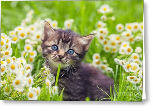 Little Kitten In The Camomile Flowers Greeting Card
