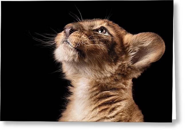 Little Lion Cub In Studio On Black Greeting Card