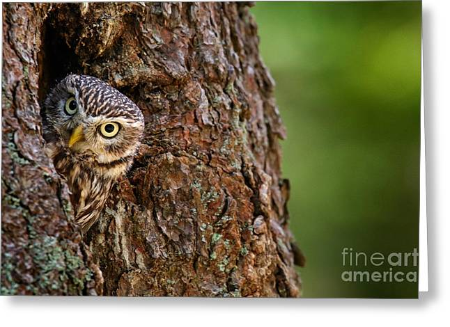 Little Owl, Athene Noctua, In The Greeting Card