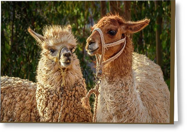 Greeting Card featuring the photograph Llama Love by Jon Exley