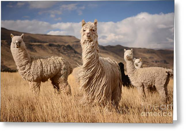 Llamas Alpaca In Andes Mountains, Peru Greeting Card