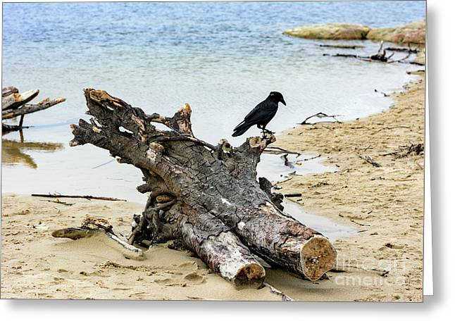Lone Carmel Crow Atop Driftwood Greeting Card