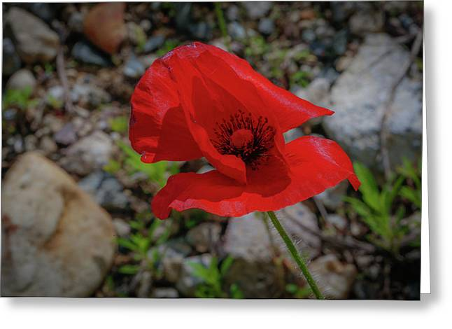 Lone Red Flower Greeting Card