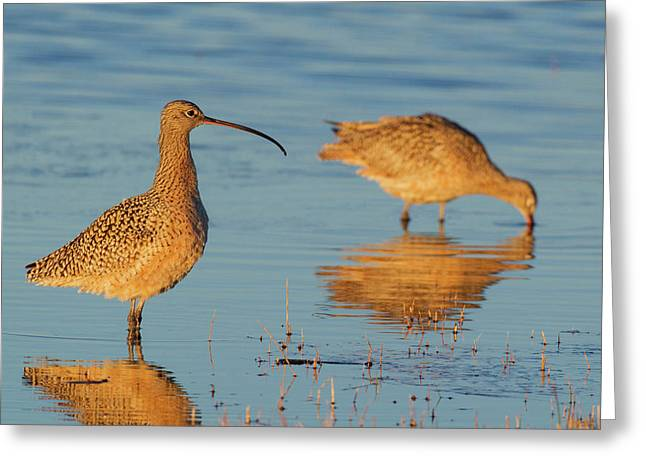Long-billed Curlew Pair Foraging Greeting Card