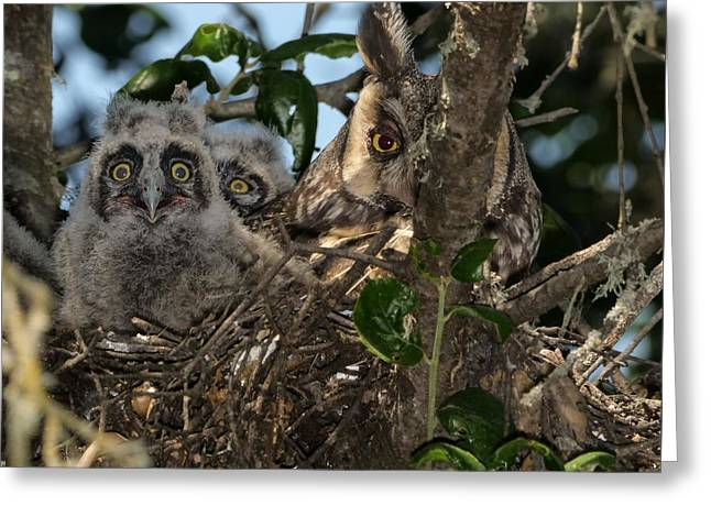 Long-eared Owl And Owlets Greeting Card
