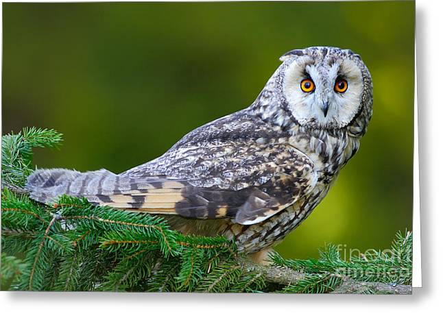 Long-eared Owl Sitting On The Branch In Greeting Card