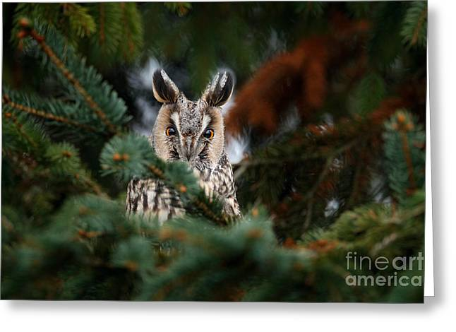 Long-eared Owl Sitting On The Branch Of Greeting Card
