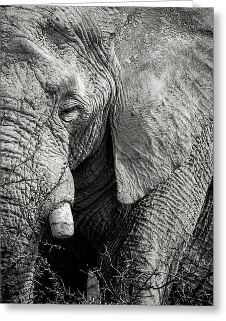 Look Of An Elephant Greeting Card