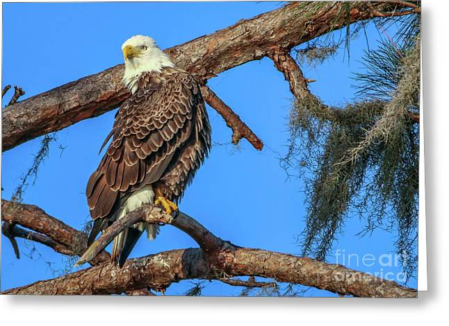 Lookout Eagle Greeting Card