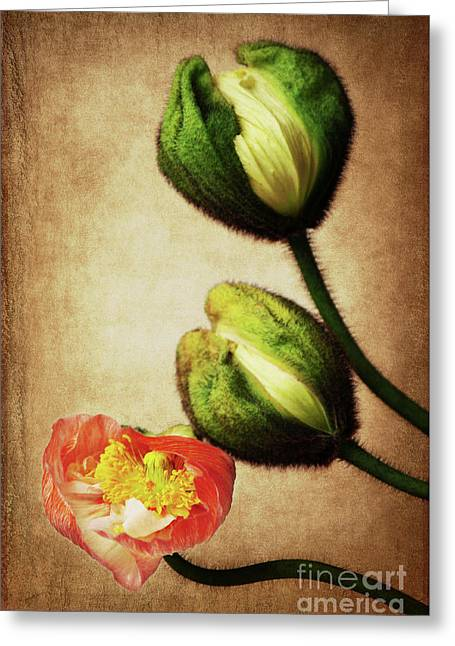 Love Poppies Greeting Card