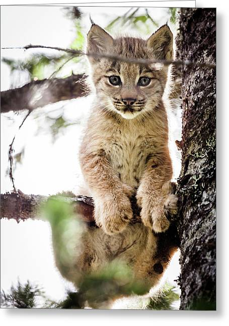 Lynx Kitten In Tree Greeting Card