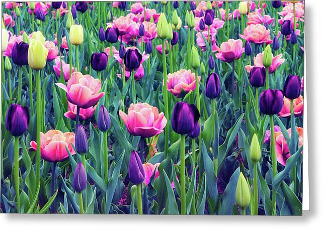 Teeming With Tulips Greeting Card