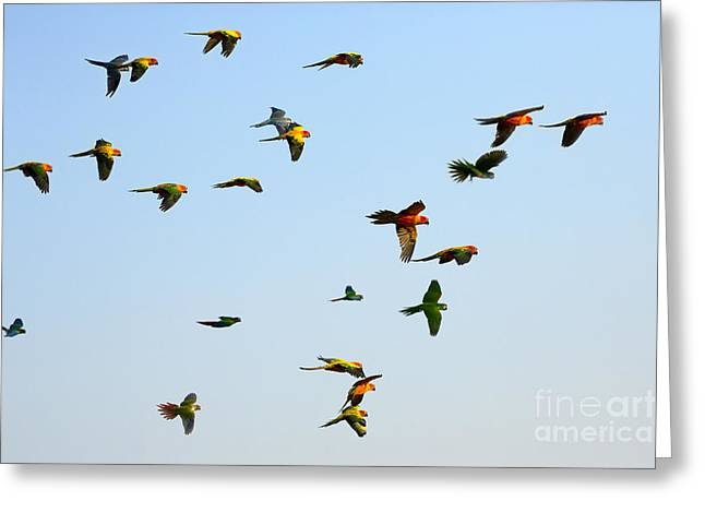 Macaw And Sun Conure Flock Of Flying In Greeting Card
