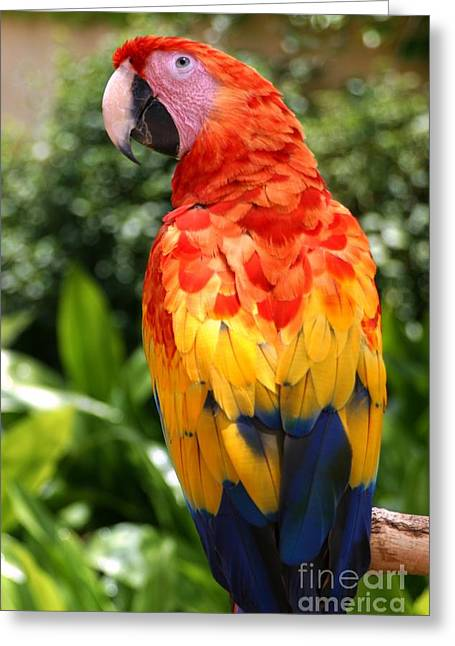 Macaw Sitting On A Branch Greeting Card