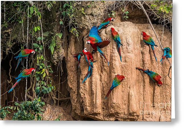 Macaws In Clay Lick In The Peruvian Greeting Card