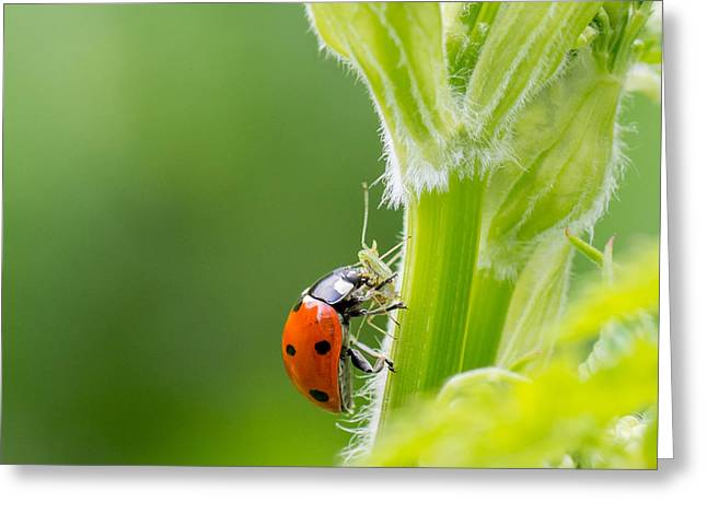 Macro Of Ladybug Adalia Bipunctata Greeting Card