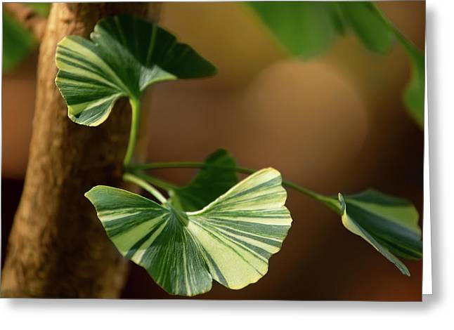Greeting Card featuring the photograph Maidenhair Tree by Dale Kincaid