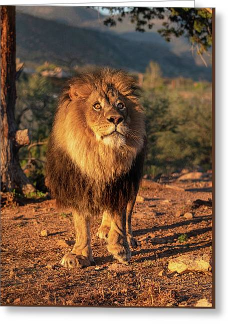 Male African Lion In Early Light Greeting Card